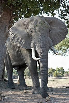 Bull African Elephant Poster