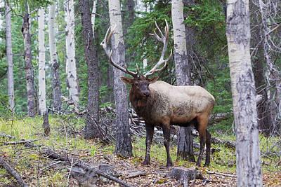Bull Elk After A Mud Bath Poster
