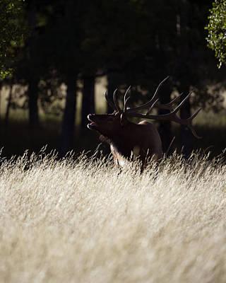 Bull Elk Evening Light Poster