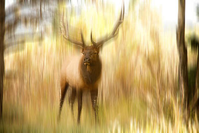 Bull Elk Forest Dreaming Poster