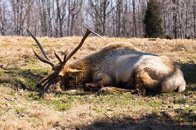 Bull Elk Sleeping In The Grass Poster