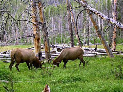 Bull Elk Sparing Poster