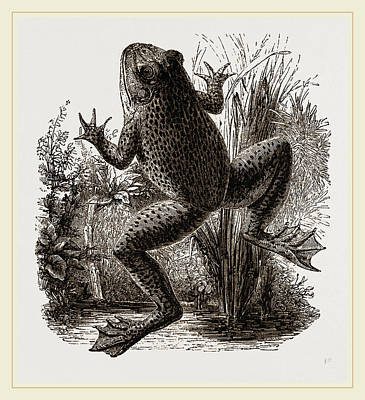 Bull-frog Poster by Litz Collection