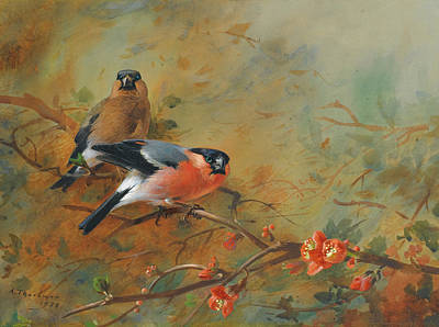 Bullfinches And Pyrus Japonica Poster by Archibald Thorburn
