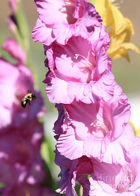Bumble Bee In The Gladiolus Poster by Carol Groenen