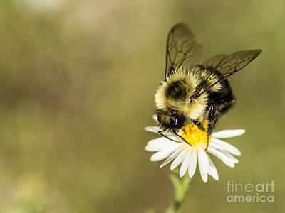 Bumble Bee Macro Poster by Debbie Green