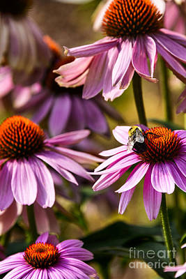 Bumble Bee On Echinacea Poster by Thomas R Fletcher