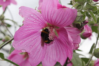 Poster featuring the photograph Bumble Bee On Lavatera by David Grant
