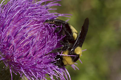 Bumble Bee On Thistle Poster by Shelly Gunderson