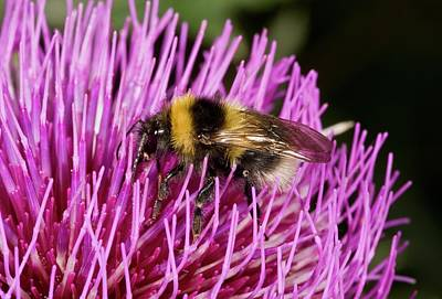 Bumblebee Feeding On Thistle Flower Poster by Bob Gibbons