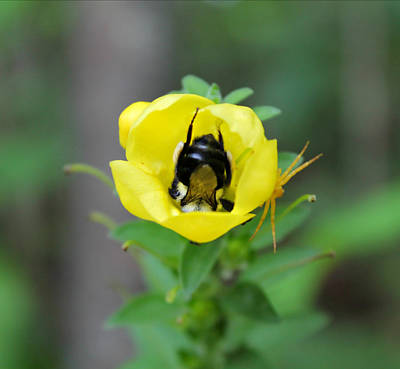 Poster featuring the photograph Bumblebee Flower by Candice Trimble