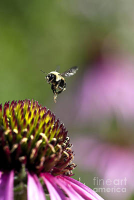 Bumblebee In Flight After Pollinating A Coneflower Poster