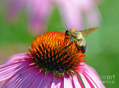 Bumblebee On A Coneflower Poster