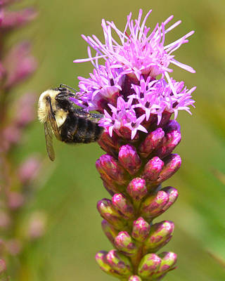 Bumblebee On Dense Blazing Star Poster