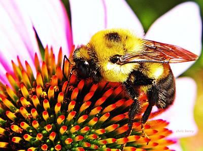 Bumblebee On Echinacea  Poster