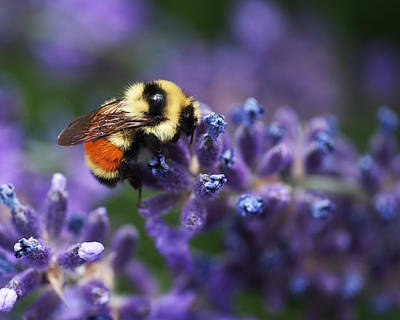 Bumblebee On Lavender Poster by Rona Black