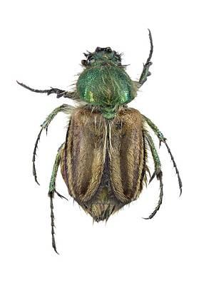 Bumblebee Scarab Beetle Poster