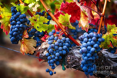 Bunch Of Blue Grapes On The Vine Poster by George Oze