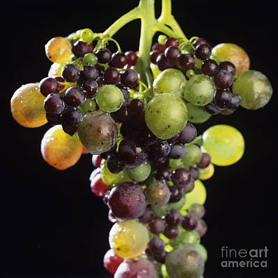 Bunch Of Grapes Poster by Bernard Jaubert