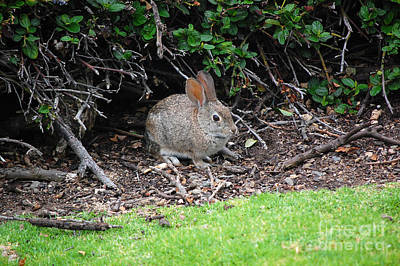 Poster featuring the photograph Bunny In Bush by Debra Thompson