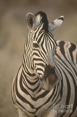 Burchells Zebra Poster by Art Wolfe