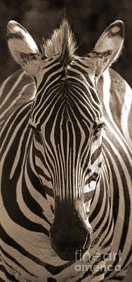 Poster featuring the photograph Burchell's Zebra by Chris Scroggins