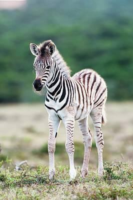 Burchells Zebra Foal Poster