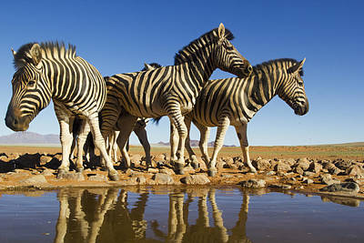 Burchells Zebras At Waterhole Namibrand Poster by Theo Allofs