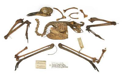 Burhinus Grallarius Skeleton Poster by Natural History Museum, London