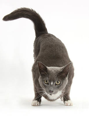 Burmese-cross Male Cat Poster
