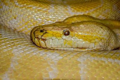 Burmese Python Poster by Ernie Echols