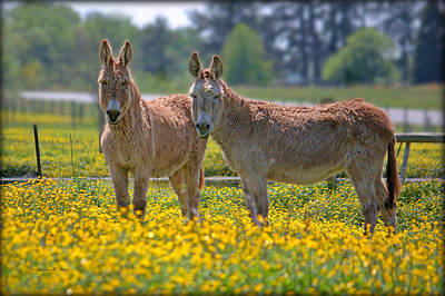 Burros In The Buttercups Poster by Suzanne Stout