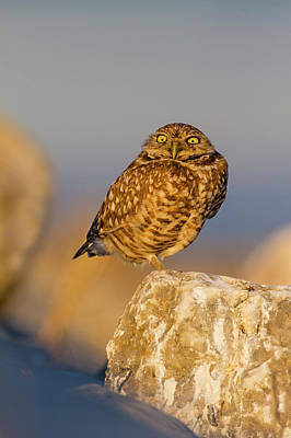Burrowing Owl (athene Cunicularia Poster