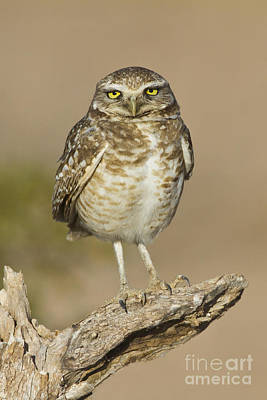 Poster featuring the photograph Burrowing Owl by Bryan Keil