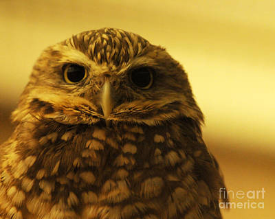 Poster featuring the photograph Burrowing Owl by Olivia Hardwicke