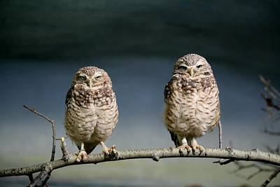 Poster featuring the photograph Burrowing Owls by Larry Trupp
