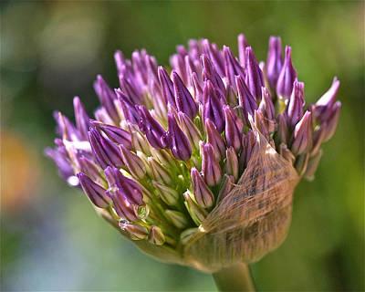 Bursting Allium Purple Sensation Poster