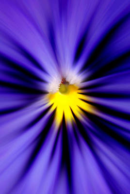 Bursting With Blue Pansy Poster