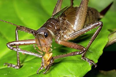 Bush Cricket Feeding Poster