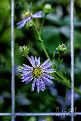 Bushy Aster With Raindrops Poster by Thomas R Fletcher