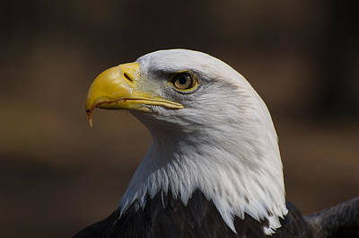 bust image of a Bald Eagle Poster
