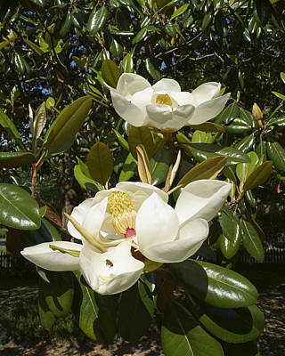 Busy Bee In A Magnolia Blossom 2 Poster