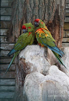 But I Love You - Two Macaws Poster by Christiane Schulze Art And Photography