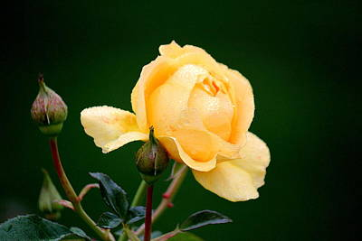 Butter Yellow Rose Poster by Rosanne Jordan