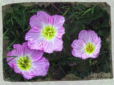 Buttercup Wildflowers - Pink Evening Primrose Poster by Ella Kaye Dickey