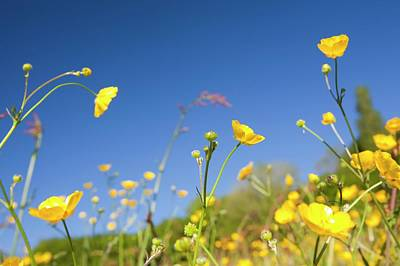 Buttercups Flowering Poster by Ashley Cooper