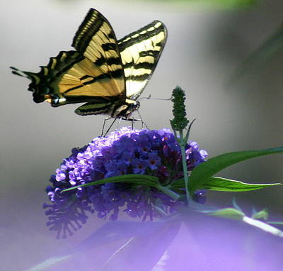 Poster featuring the photograph Butterflies Are Free by Debra Kaye McKrill
