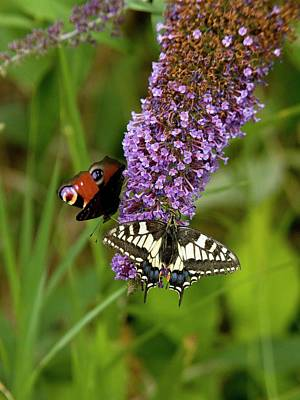 Butterflies Feeding On Buddleia Flowers Poster