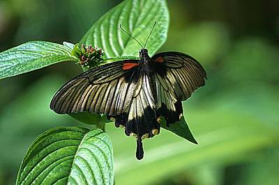 Poster featuring the photograph Butterfly 2 by Kathy Churchman