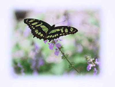 Poster featuring the photograph Butterfly 8 by Leticia Latocki